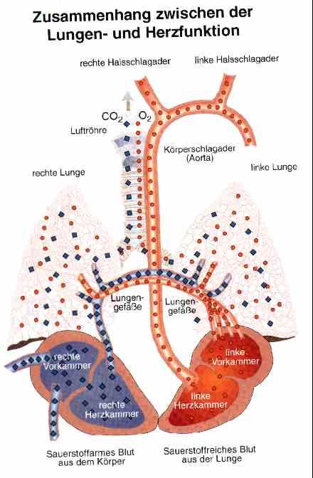 erklärung atmung blut und kreislaufsysteme