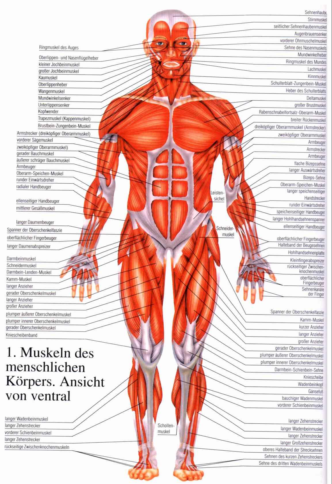 wie kann ich muskeln aufbauen und fett abbauen