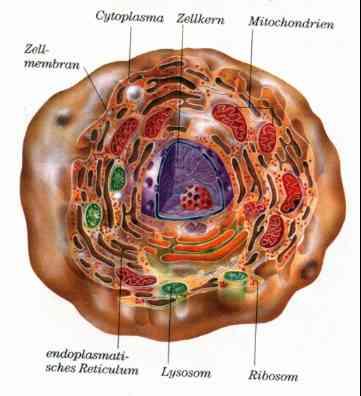 Der Mensch, Zellen und Gewebe